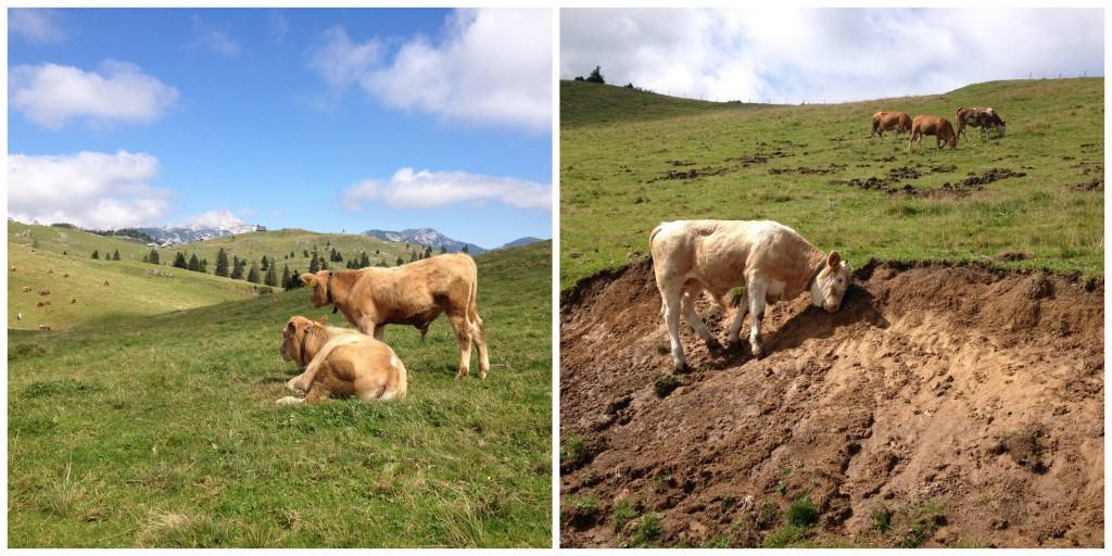 Vaches à Velika Planina Slovénie