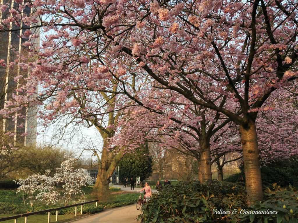 Blooming trees in Hamburg, Germany