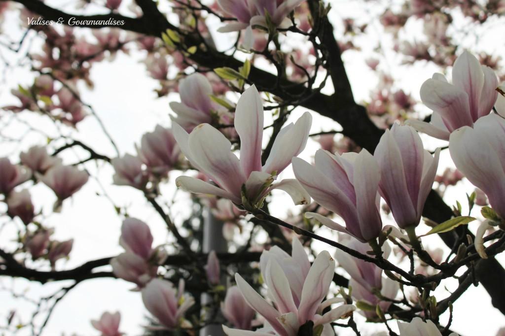 Magnolia flowers, Germany
