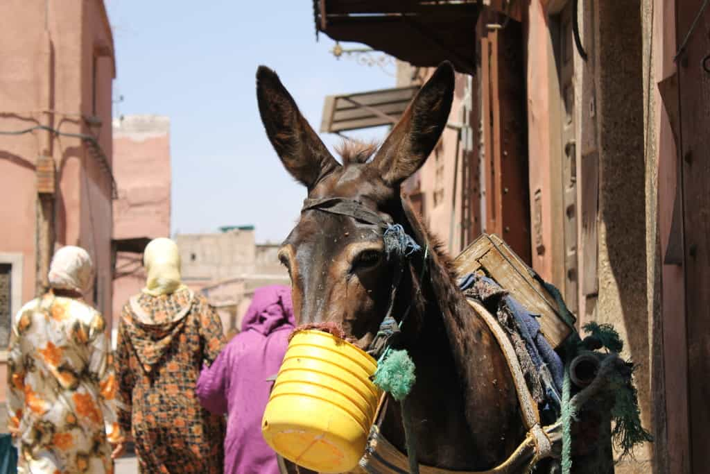 just a regular donkey in Marrakeshq