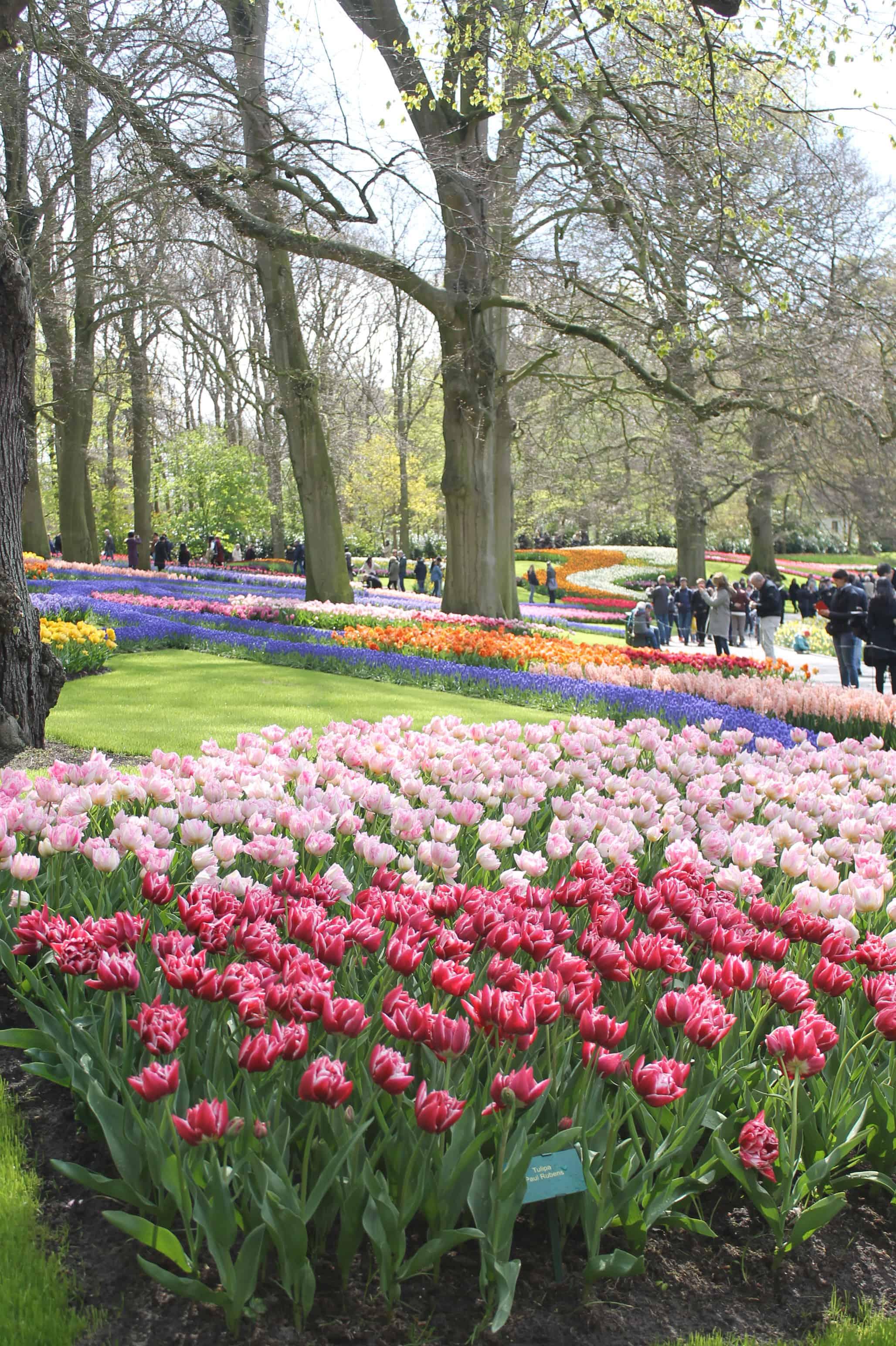 Tulipes aux jardins Keukenhof, Pays-Bas