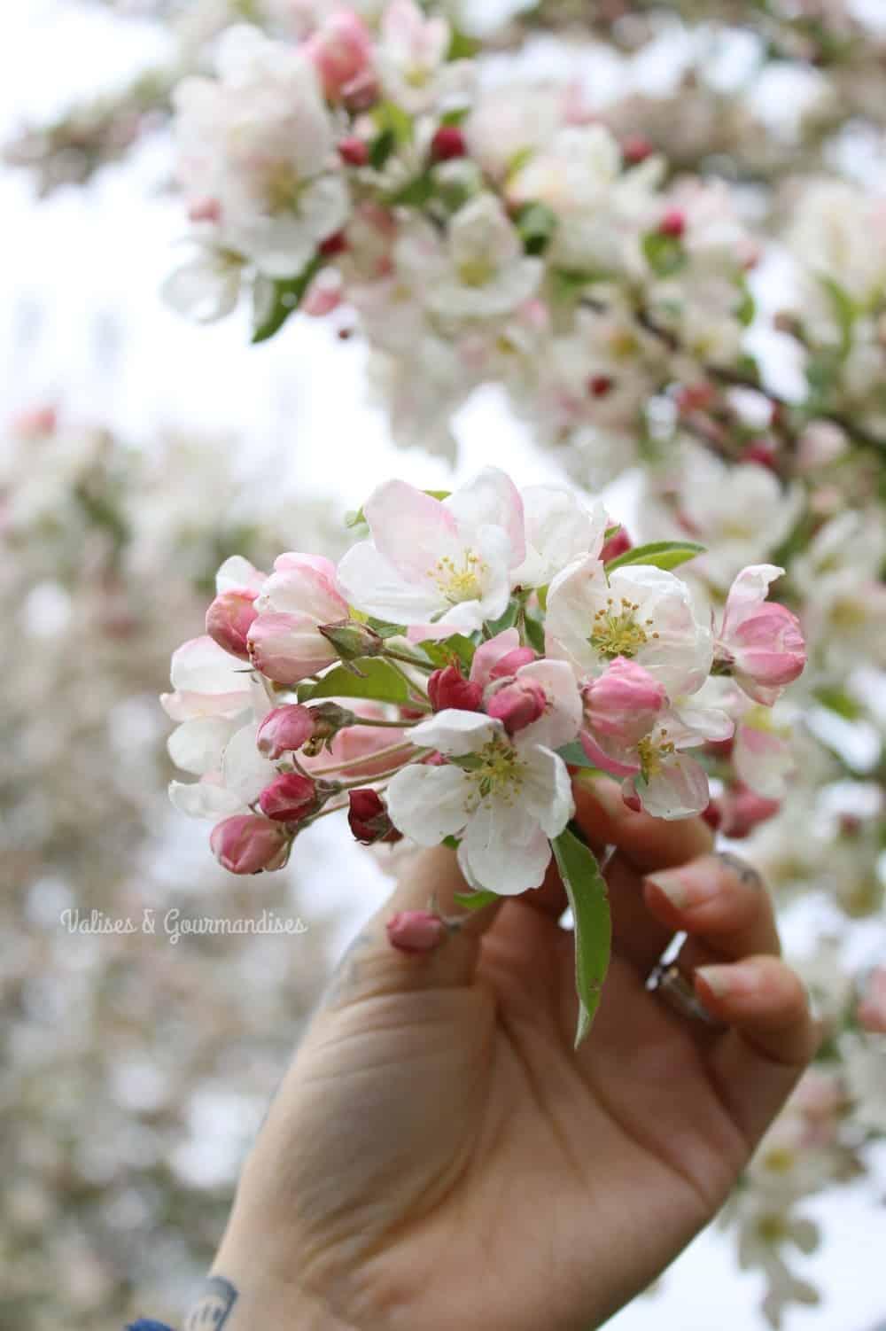 Cerisier en fleurs à Keukenhof, Pays-Bas
