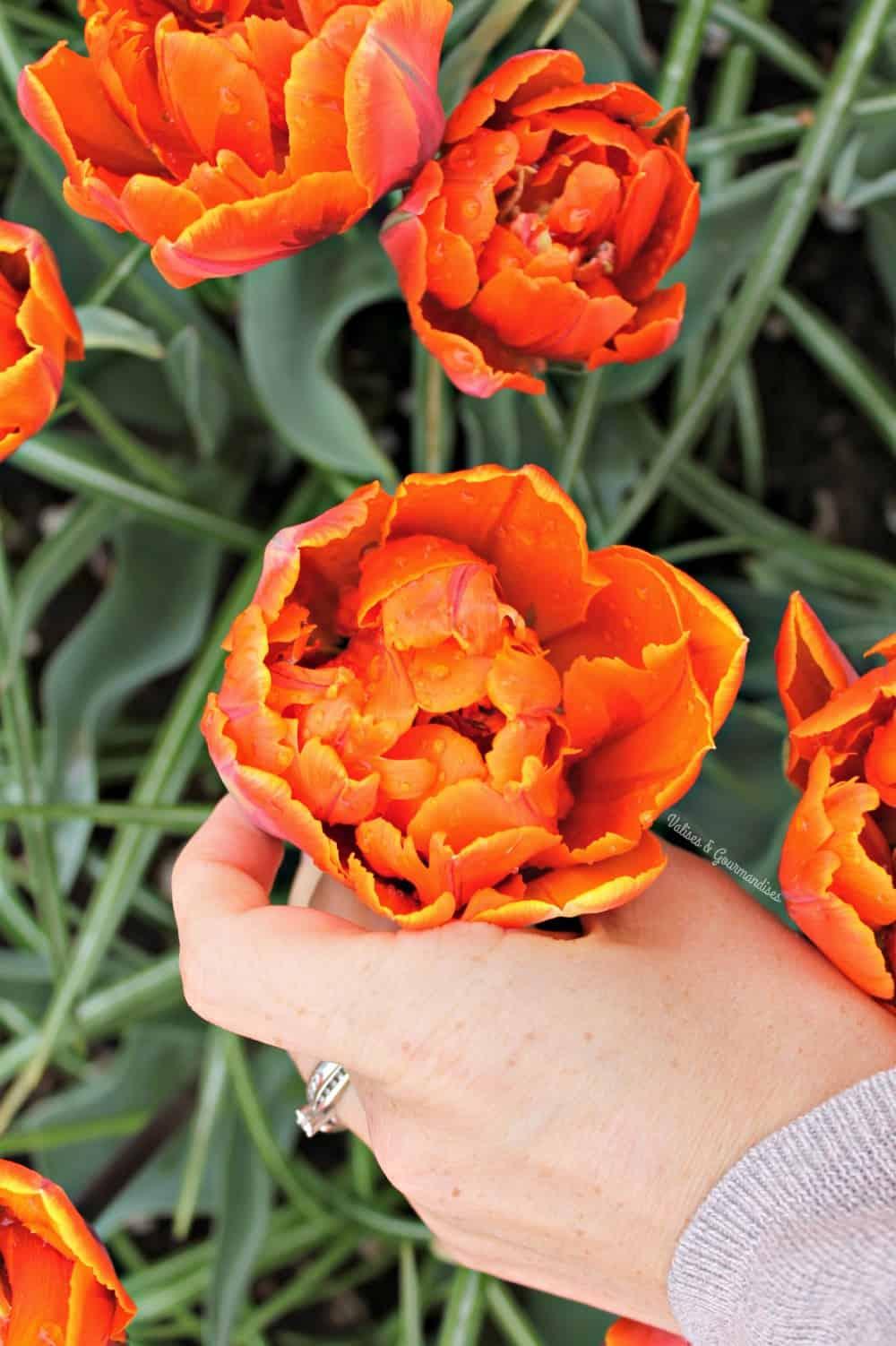 Saison des tulipes à Keukenhof, Pays-Bas