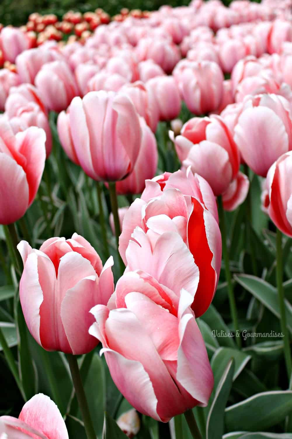 Tulipes à Keukenhof, Pays-Bas