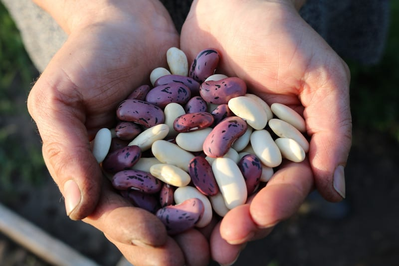dried legumes in hands